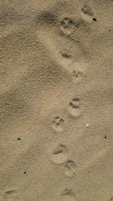 犬の足跡?