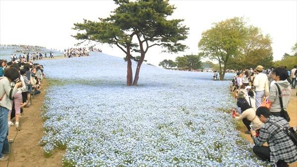 国営ひたち海浜公園 ネモフィラ 写真撮影