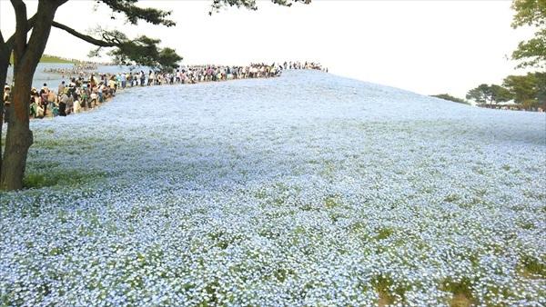 国営ひたち海浜公園 ネモフィラ1