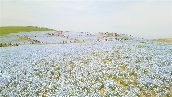 国営ひたち海浜公園 ネモフィラ3