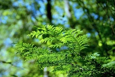 針葉樹 ヒノキ